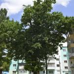 Roman Stejarul Unirii-0494