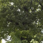 Roman Stejarul Unirii-0500
