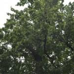 Roman Stejarul Unirii-0511