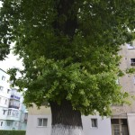 Roman Stejarul Unirii-0517