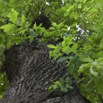 Roman Stejarul Unirii-0525