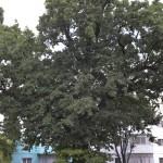 Roman Stejarul Unirii-0536